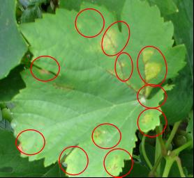 Príznaky peronospóry na liste viniča.