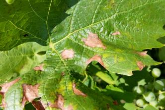 List viniča napadnutý plesňou sivou.