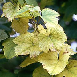 List viniča s chlorózou spôsobenou nedostatkom železa a horčíka.