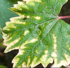 List viniča s príznakmi nedostatku horčíka.