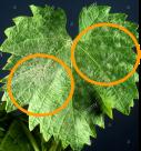 Príznaky múčnatky na listoch viniča.