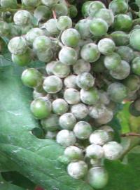 múčnatka na strapci viniča