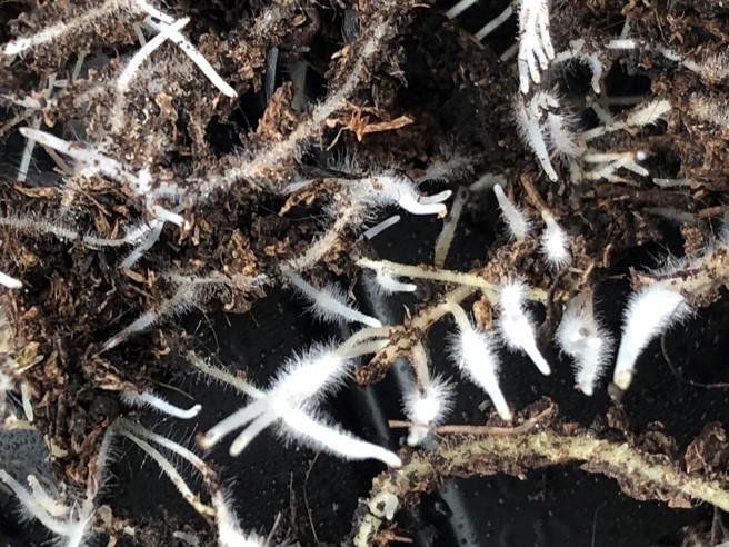 Koreňový bal planty chryzantémy - pohľad zblízka