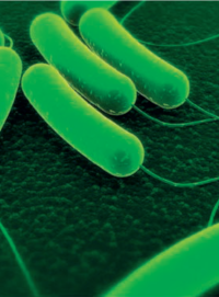 Spóra baktérie Azotobacter vinelandii