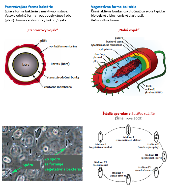 Formy baktérie, proces sporulácie