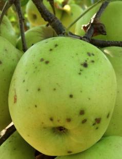 Jablko - Chrastavitosť jabĺk